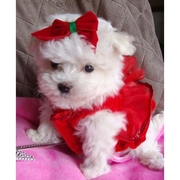 Two Lovely Maltese Puppies For A Home..